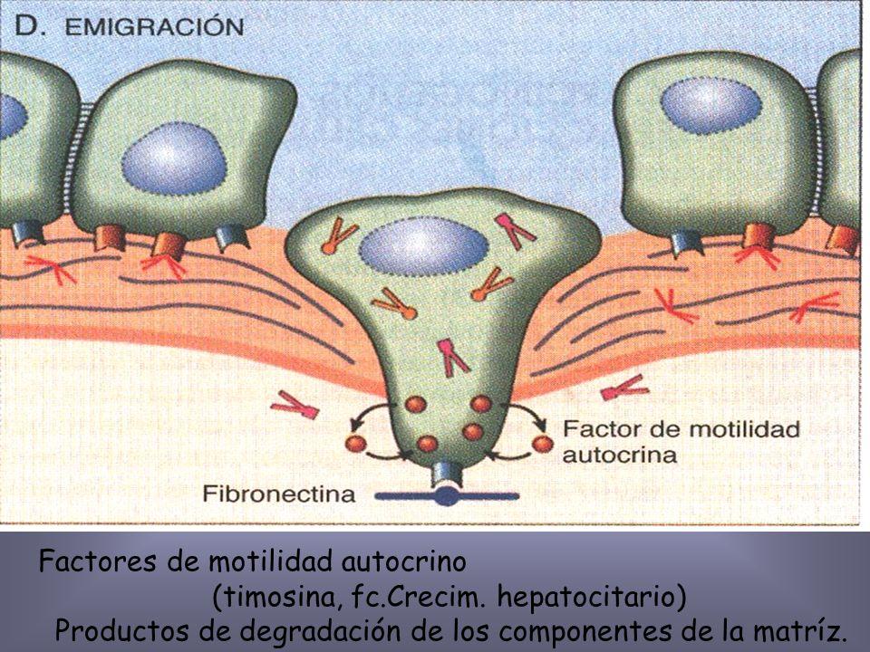 Enzimas proteolíticas (propias del huesped) Serina, Cisteina de la matríz (MPM)