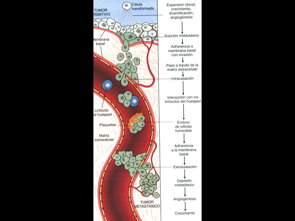 Diseminación vascular y asentamiento de las células tumorales Penetran en circulación y se agupan entre ellas y con células sanguineas (plaquetas) Via