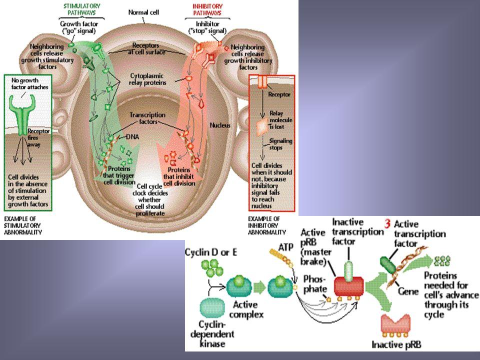 Proliferación Célula suceptible Factores ambientales Virus, radiación Diferenciación genes Apoptosis Genes asociados a proliferación celular
