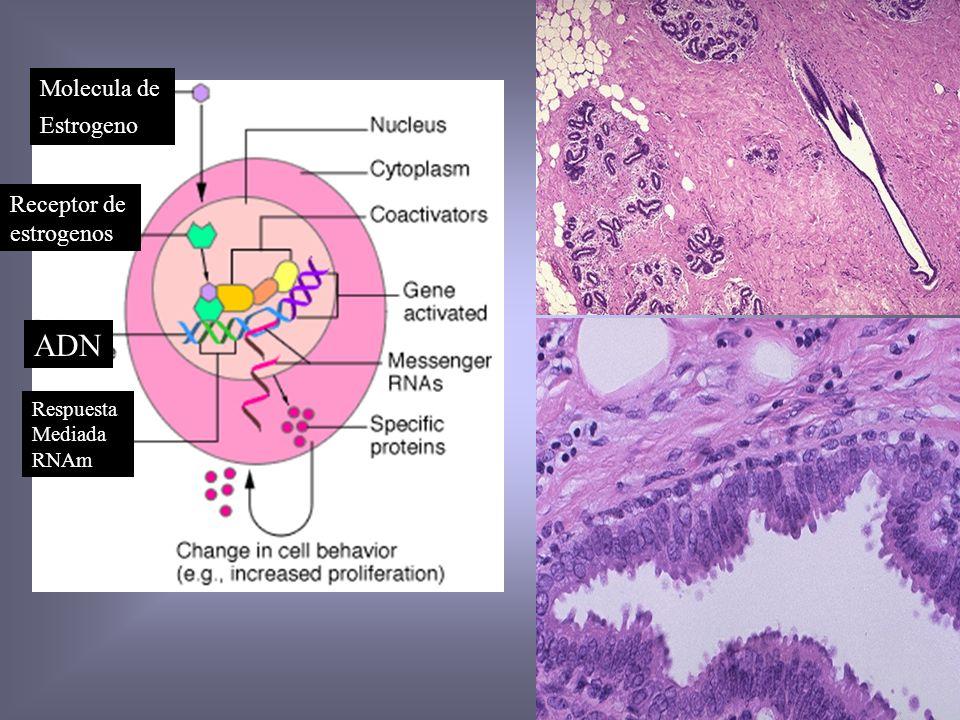 Genes Supresores Tumorales Gene S. Familiar T.Esporádicos c/Mutación Mx de Acción RB1 Retinoblastoma RB,OSC,Pulmón,Mama Ciclo Celular P53 S.Li-Fraumen