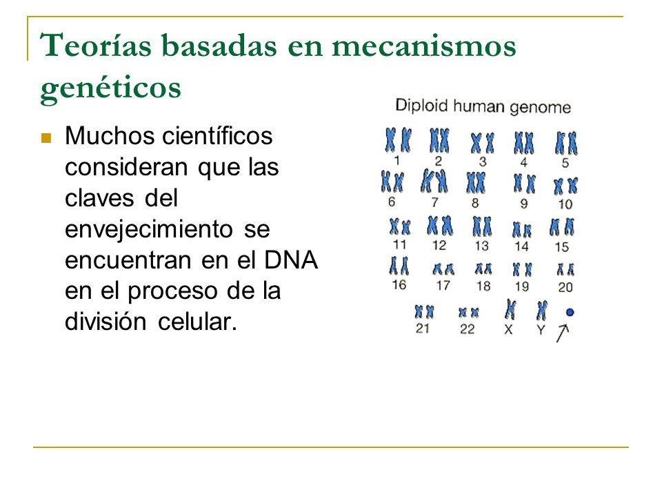 Teorías basadas en mecanismos genéticos Muchos científicos consideran que las claves del envejecimiento se encuentran en el DNA en el proceso de la di