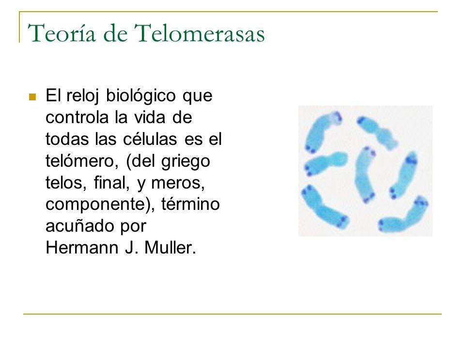 Teoría de Telomerasas El reloj biológico que controla la vida de todas las células es el telómero, (del griego telos, final, y meros, componente), tér
