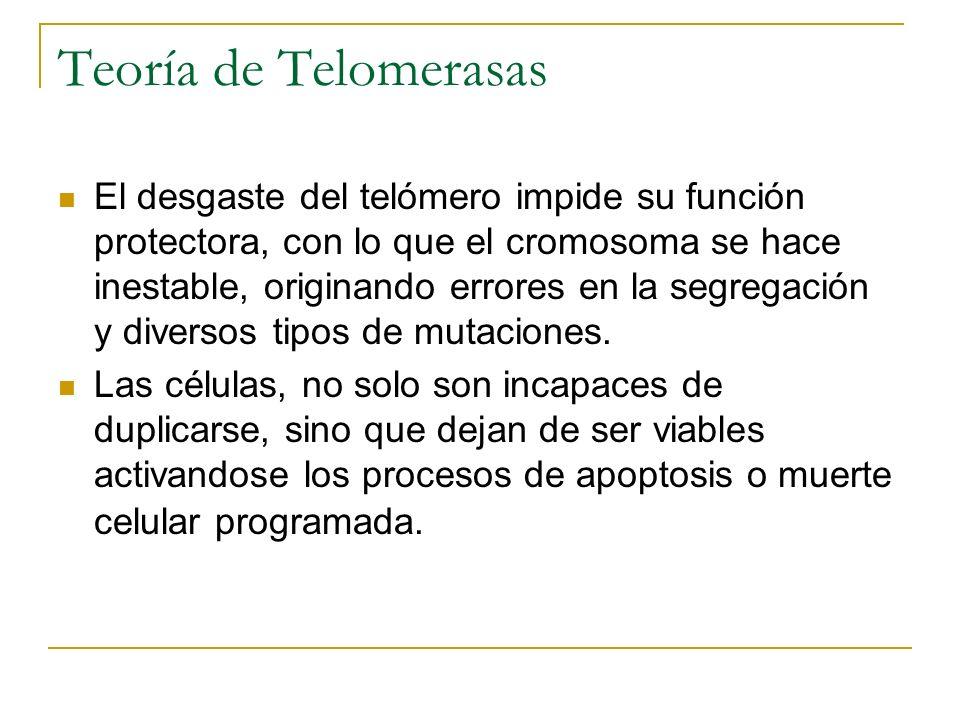 Teoría de Telomerasas El desgaste del telómero impide su función protectora, con lo que el cromosoma se hace inestable, originando errores en la segre