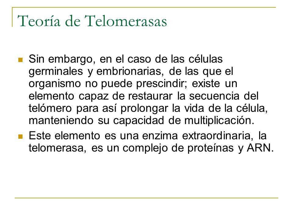 Teoría de Telomerasas Sin embargo, en el caso de las células germinales y embrionarias, de las que el organismo no puede prescindir; existe un element