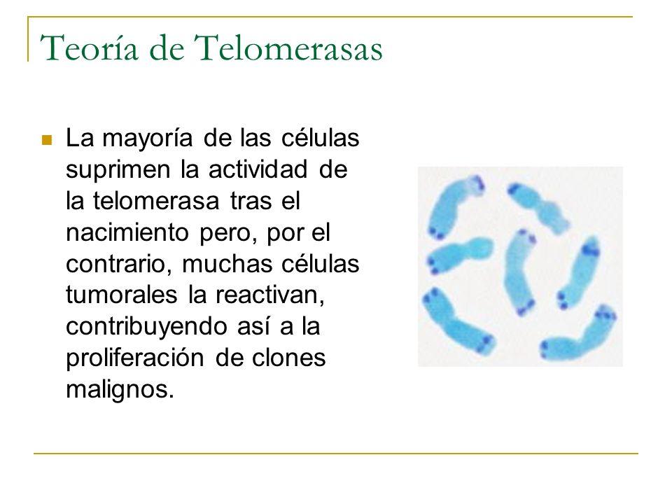 Teoría de Telomerasas La mayoría de las células suprimen la actividad de la telomerasa tras el nacimiento pero, por el contrario, muchas células tumor