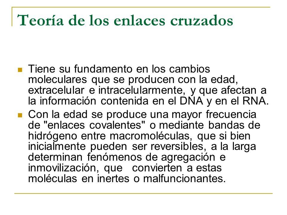 Teoría de los enlaces cruzados Tiene su fundamento en los cambios moleculares que se producen con la edad, extracelular e intracelularmente, y que afe