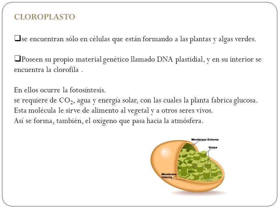 CLOROPLASTO se encuentran sólo en células que están formando a las plantas y algas verdes. Poseen su propio material genético llamado DNA plastidial,