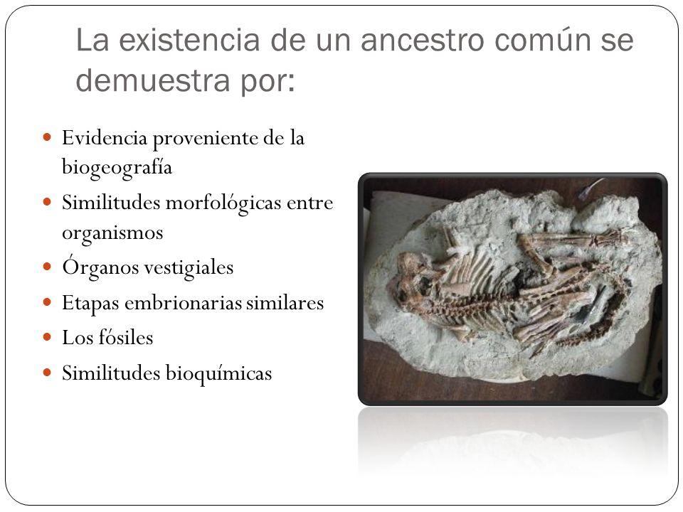 La existencia de un ancestro común se demuestra por: Evidencia proveniente de la biogeografía Similitudes morfológicas entre organismos Órganos vestig