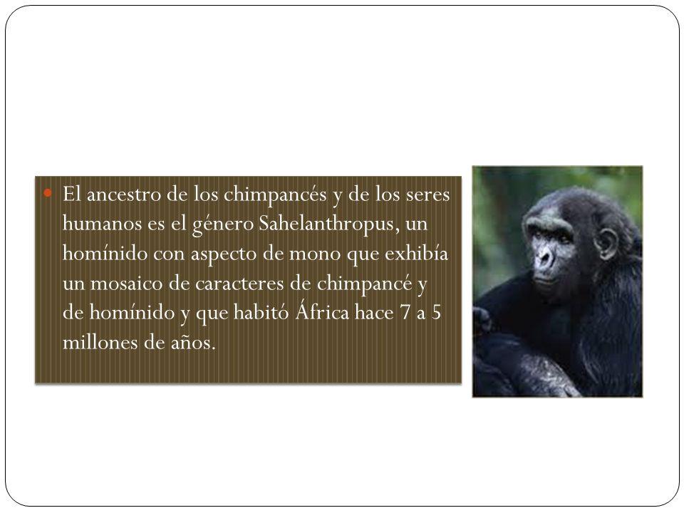 El ancestro de los chimpancés y de los seres humanos es el género Sahelanthropus, un homínido con aspecto de mono que exhibía un mosaico de caracteres