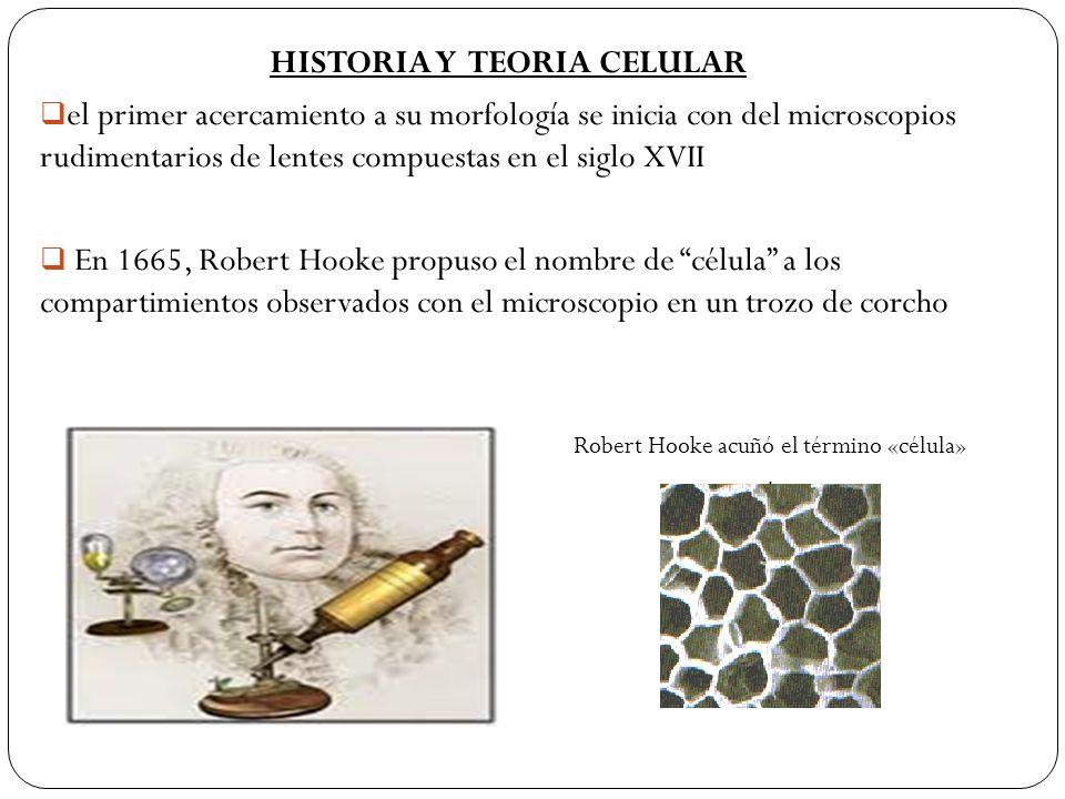 HISTORIA Y TEORIA CELULAR el primer acercamiento a su morfología se inicia con del microscopios rudimentarios de lentes compuestas en el siglo XVII En
