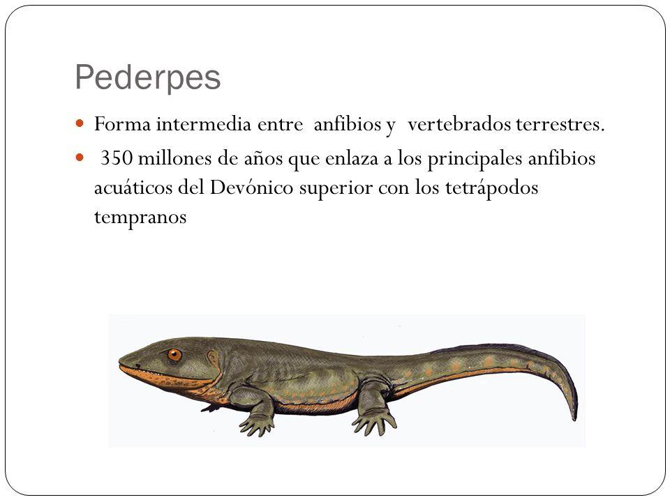 Forma intermedia entre anfibios y vertebrados terrestres. 350 millones de años que enlaza a los principales anfibios acuáticos del Devónico superior c