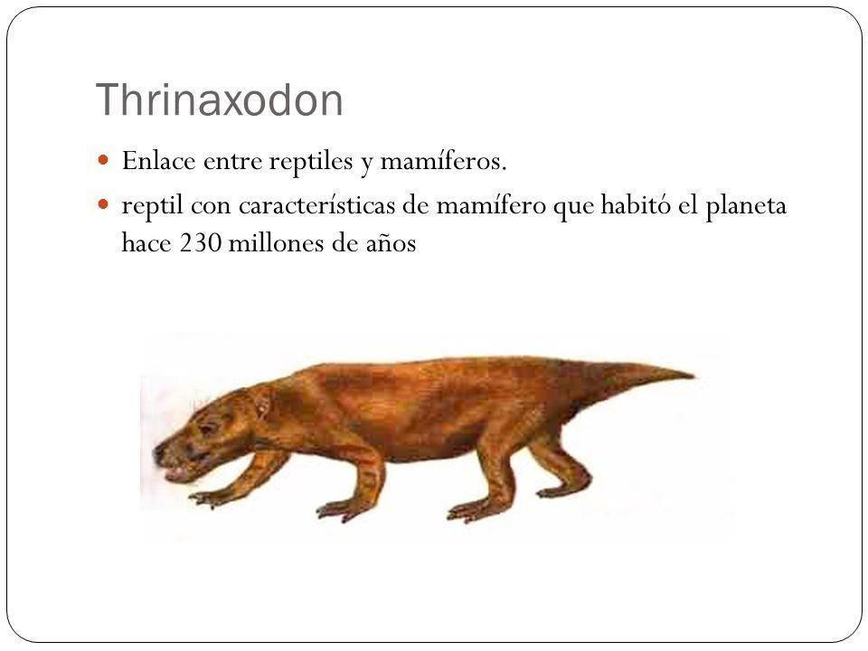 Enlace entre reptiles y mamíferos. reptil con características de mamífero que habitó el planeta hace 230 millones de años Thrinaxodon