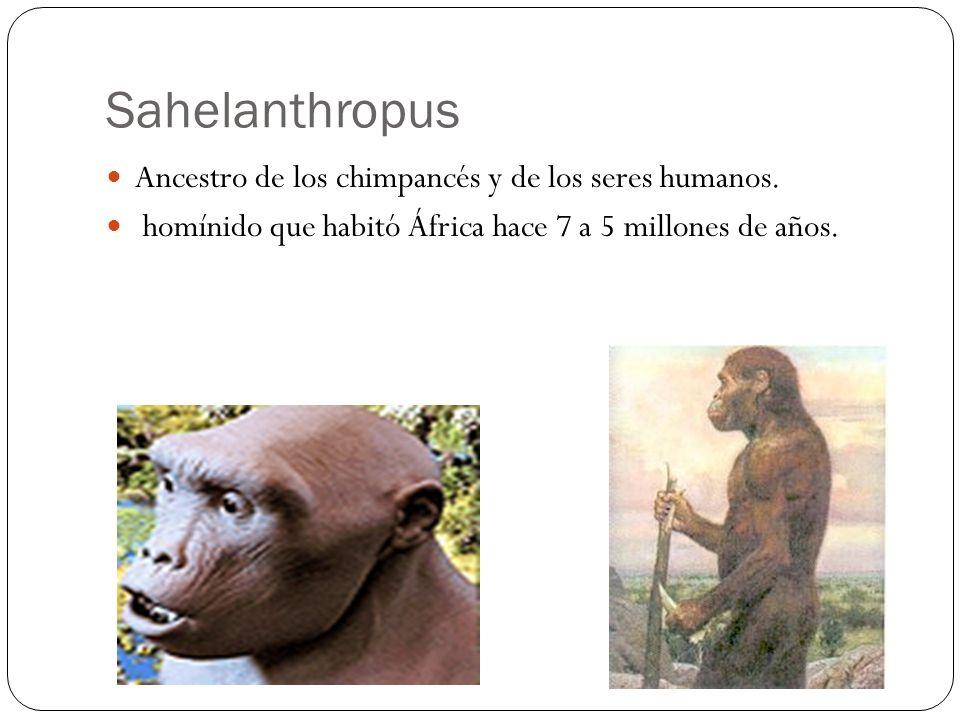 Ancestro de los chimpancés y de los seres humanos. homínido que habitó África hace 7 a 5 millones de años. Sahelanthropus