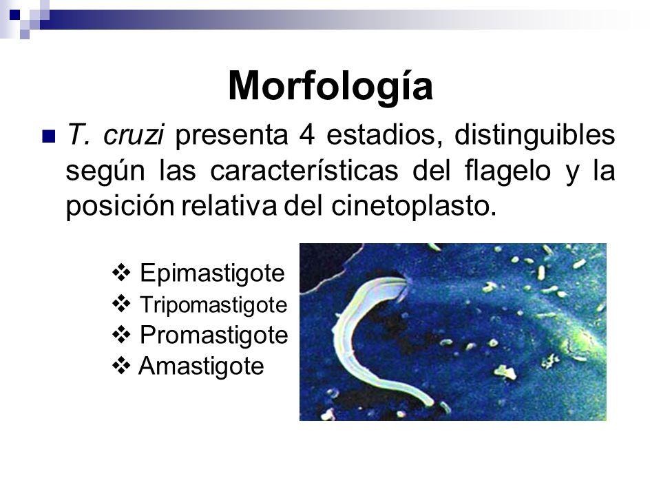 Morfología T. cruzi presenta 4 estadios, distinguibles según las características del flagelo y la posición relativa del cinetoplasto. Epimastigote Tri