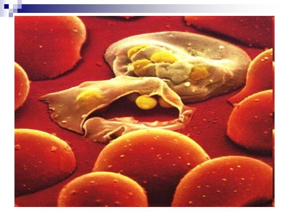 El paciente entra en latencia clínica y remisión de la enfermedad Por alteraciones metabólicas o alteración del equilibrio inmunológico se produce las recaídas (nuevos accesos febriles) Las recidivas o recurrencias ocurren meses o años después.