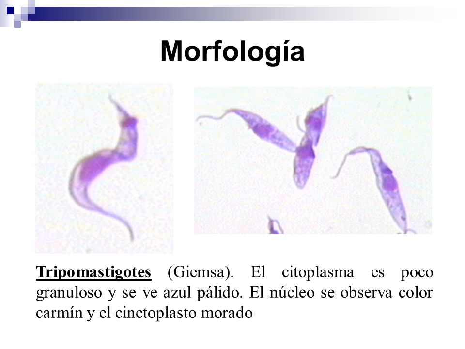 Morfología Tripomastigotes (Giemsa). El citoplasma es poco granuloso y se ve azul pálido. El núcleo se observa color carmín y el cinetoplasto morado