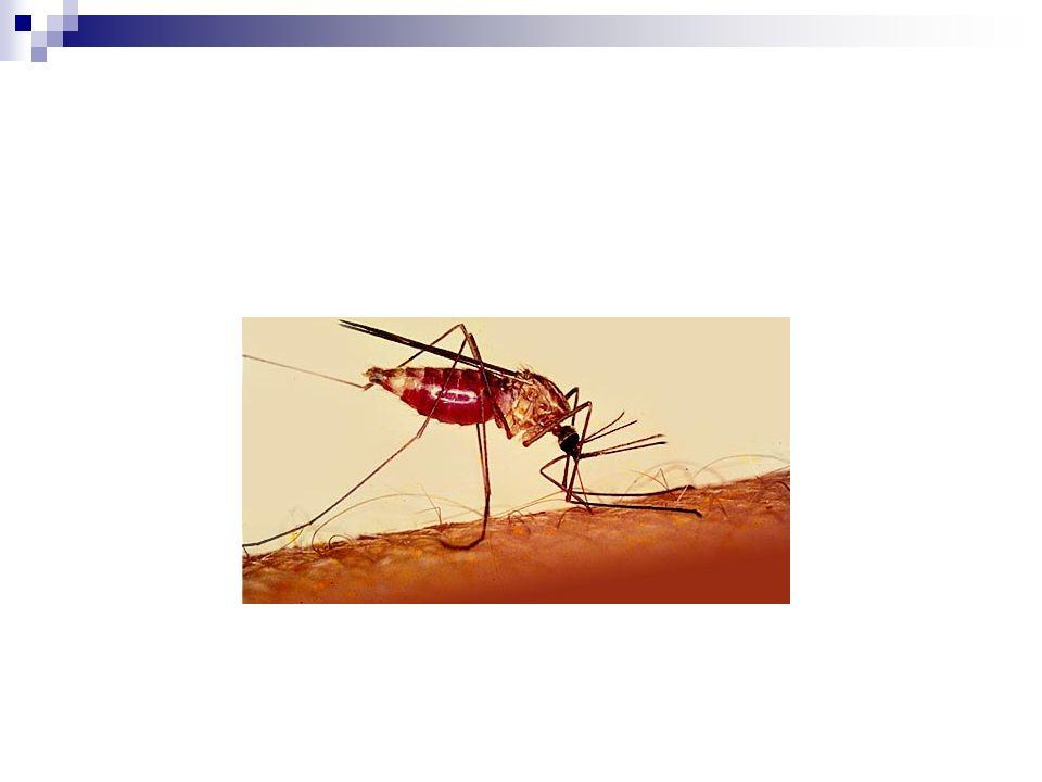 Diagnóstico de laboratorio Amastigotes de T.cruzi teñidos con Giemsa Amastigotes de T.