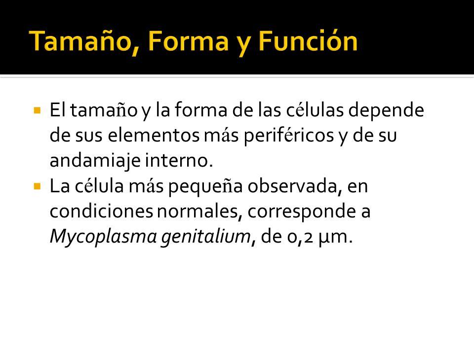 El tama ñ o y la forma de las c é lulas depende de sus elementos m á s perif é ricos y de su andamiaje interno. La c é lula m á s peque ñ a observada,