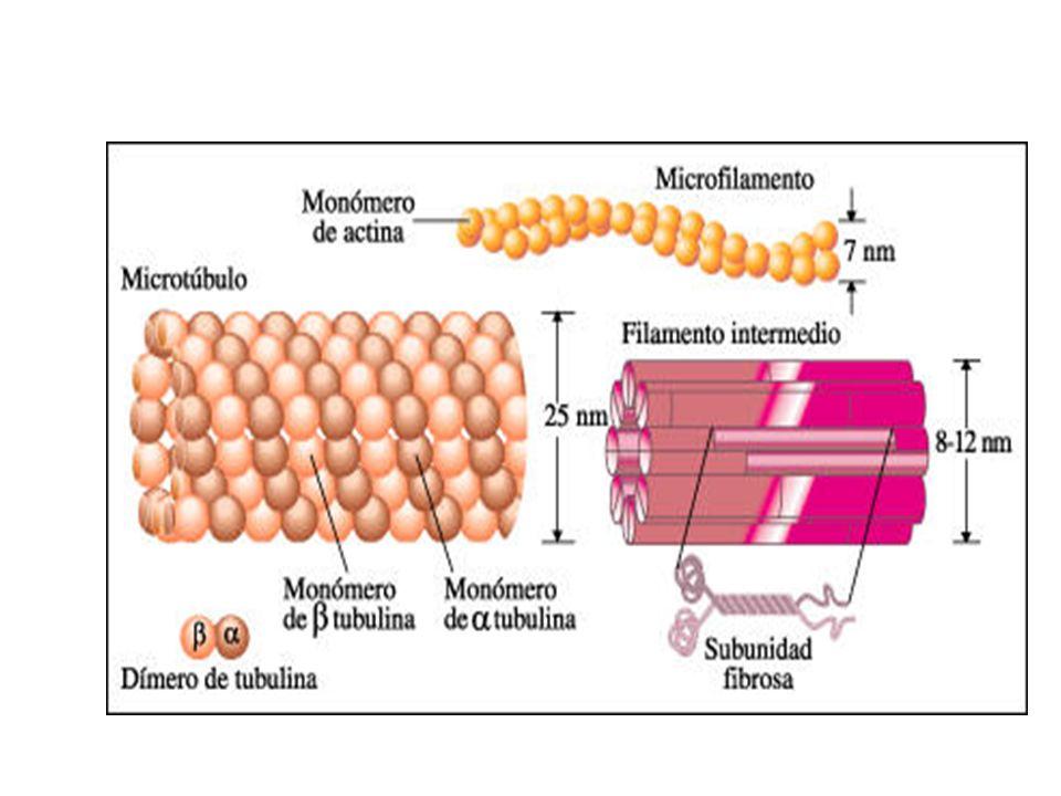 Celula Procariota Arqueas Bacterias Celula Eucariota Animales Vegetales