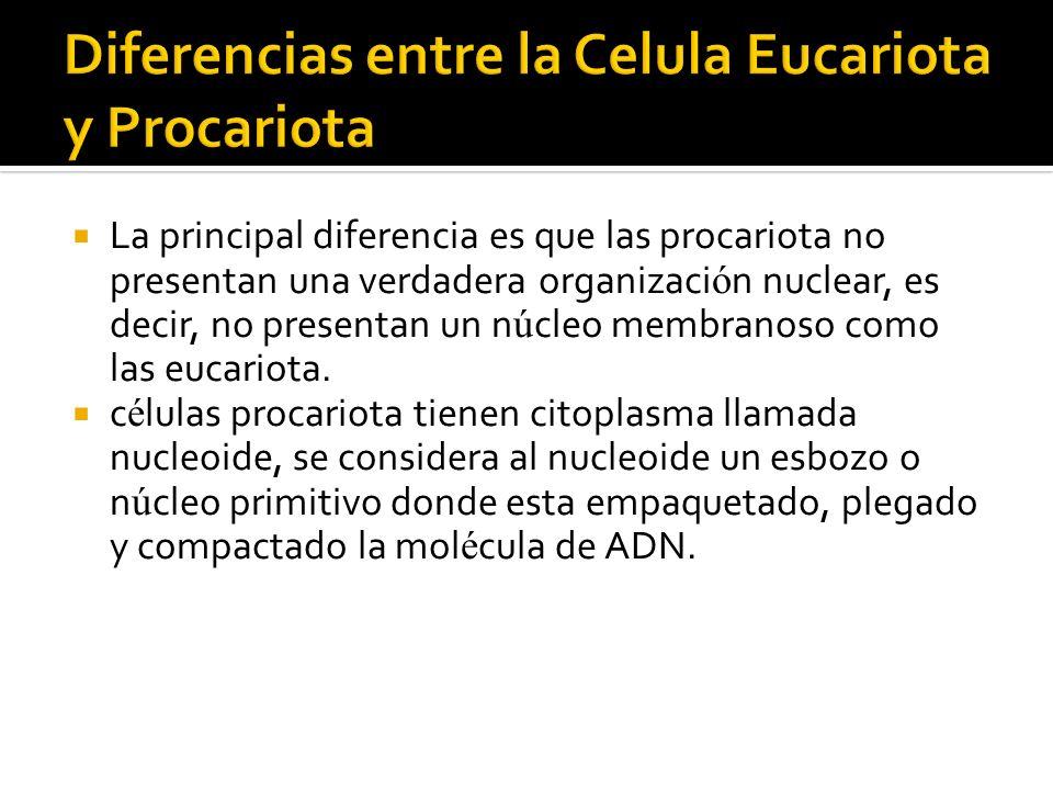 La principal diferencia es que las procariota no presentan una verdadera organizaci ó n nuclear, es decir, no presentan un n ú cleo membranoso como la