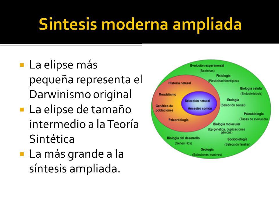 La elipse más pequeña representa el Darwinismo original La elipse de tamaño intermedio a la Teoría Sintética La más grande a la síntesis ampliada.