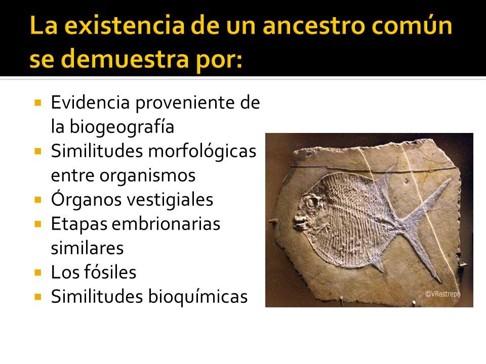 Evidencia proveniente de la biogeografía Similitudes morfológicas entre organismos Órganos vestigiales Etapas embrionarias similares Los fósiles Simil
