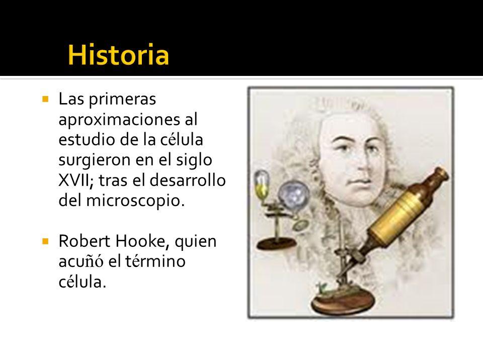 Las primeras aproximaciones al estudio de la c é lula surgieron en el siglo XVII; tras el desarrollo del microscopio. Robert Hooke, quien acu ñó el t