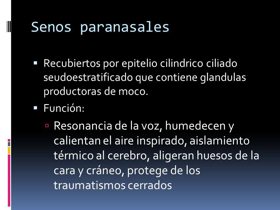 Senos paranasales Recubiertos por epitelio cilindrico ciliado seudoestratificado que contiene glandulas productoras de moco. Función: Resonancia de la