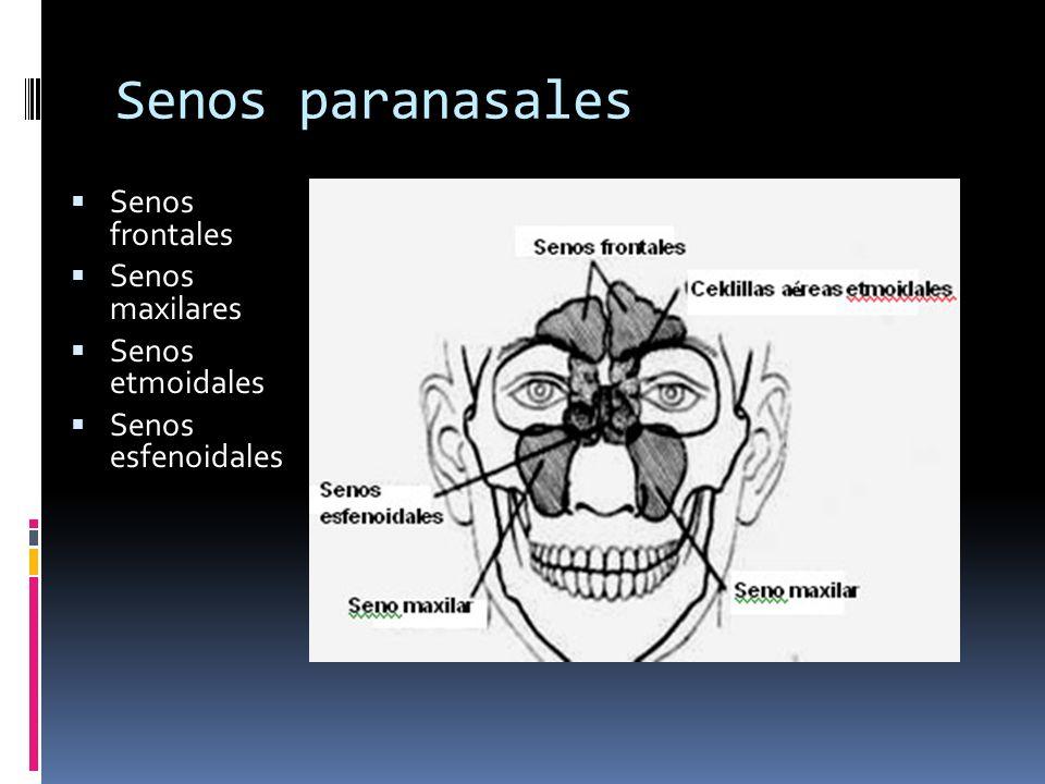 Senos paranasales Senos frontales Senos maxilares Senos etmoidales Senos esfenoidales