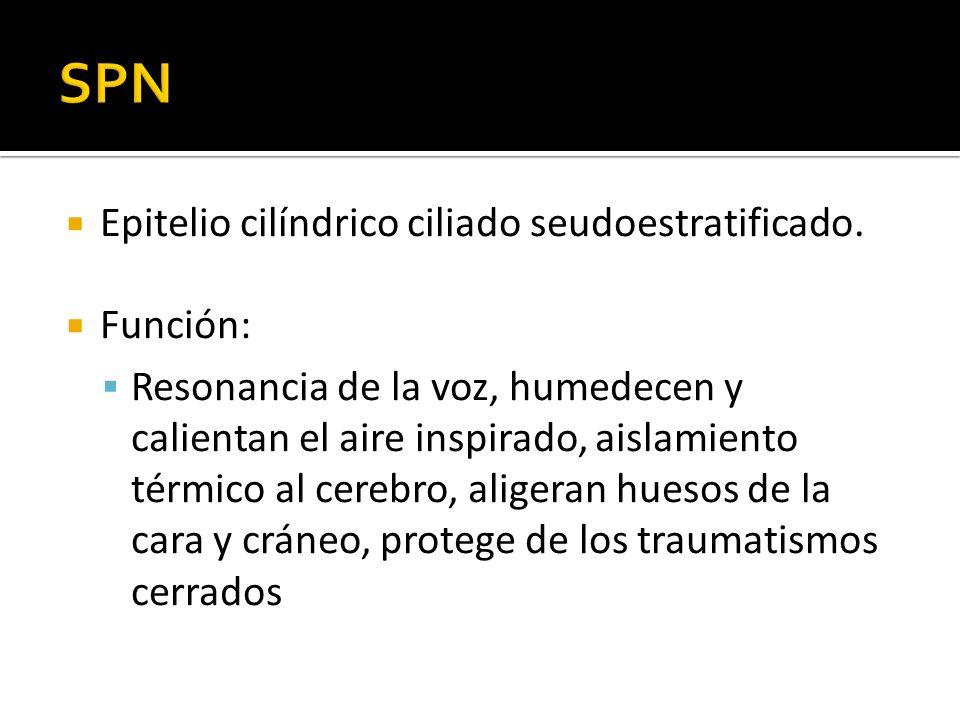 Epitelio cilíndrico ciliado seudoestratificado. Función: Resonancia de la voz, humedecen y calientan el aire inspirado, aislamiento térmico al cerebro