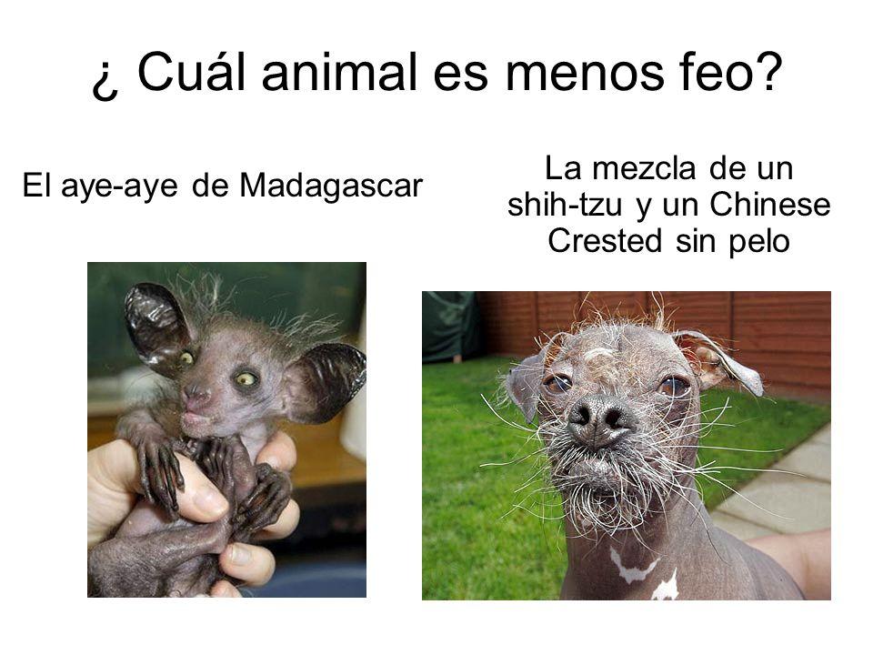 ¿ Cuál animal es menos feo? El aye-aye de Madagascar La mezcla de un shih-tzu y un Chinese Crested sin pelo