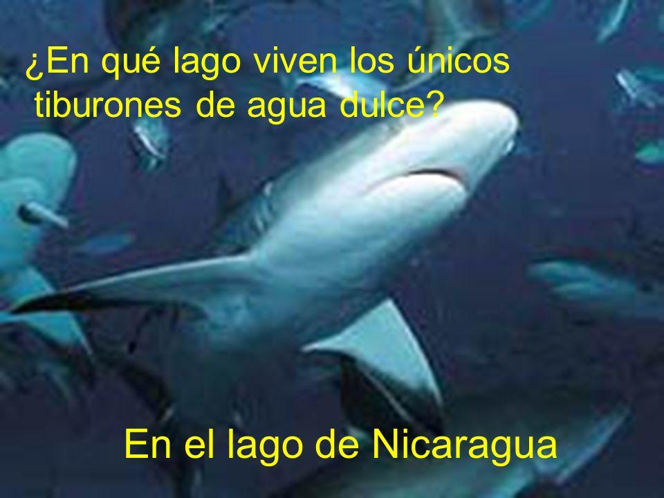 ¿En qué lago viven los únicos tiburones de agua dulce? En el lago de Nicaragua