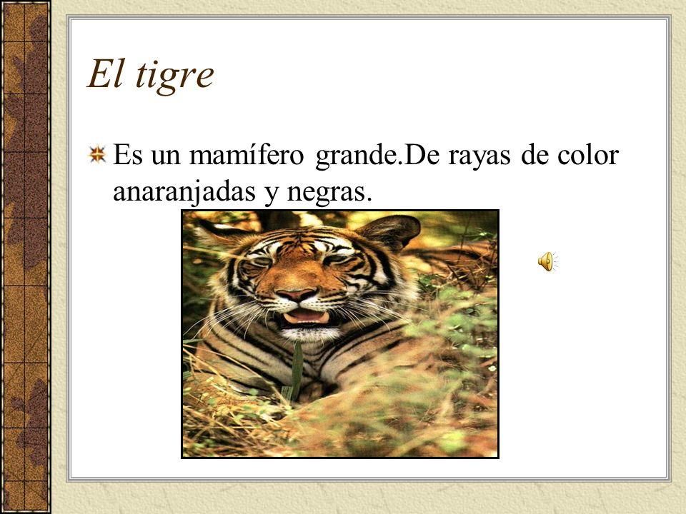 El tigre Es un mamífero grande.De rayas de color anaranjadas y negras.