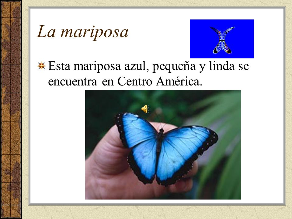 La mariposa Esta mariposa azul, pequeña y linda se encuentra en Centro América.