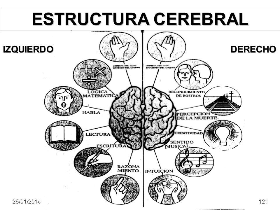 ESTRUCTURA CEREBRAL DERECHOIZQUIERDO 25/01/2014121
