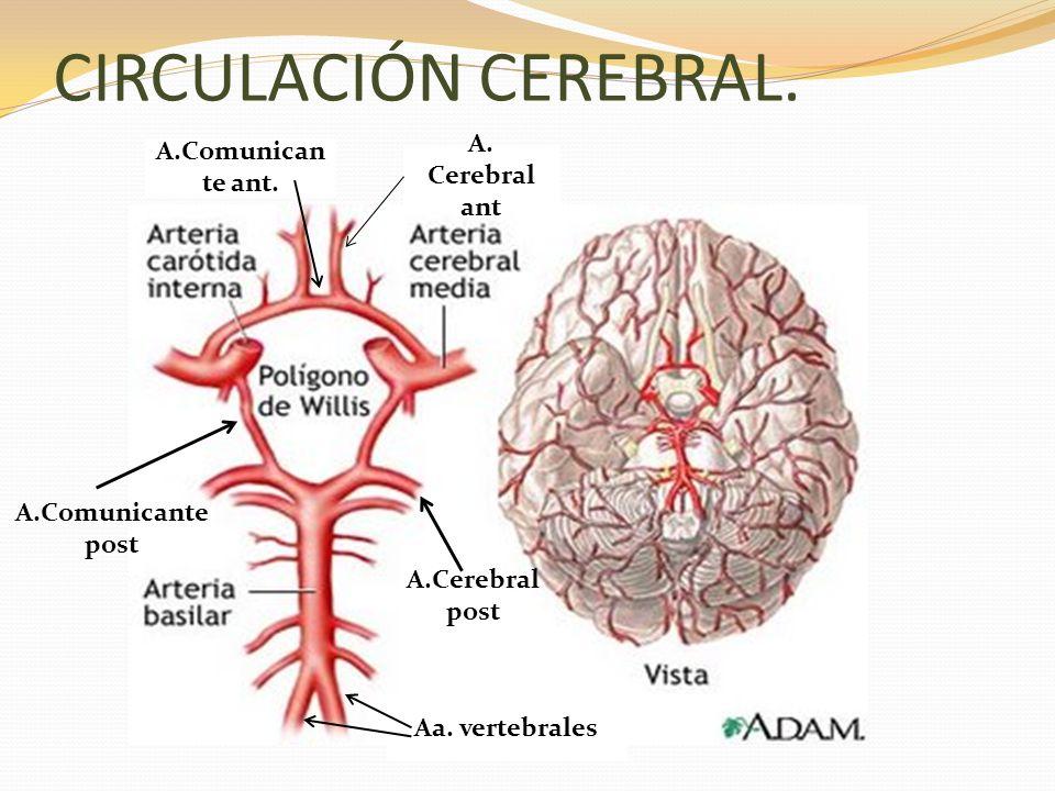 CIRCULACIÓN CEREBRAL. A. Cerebral ant A.Comunican te ant. Aa. vertebrales A.Cerebral post A.Comunicante post