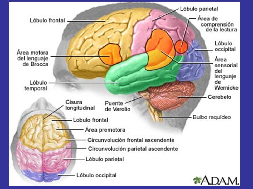 NEUROLOGÍA DIAGNÓSTICO TOPOGRÁFICO TRASTORNOS MOTORES MONOPARESIA CORTEZA HEMISFERIO (FOCAL) MÉDULA NERVIO PERIFÉRICO