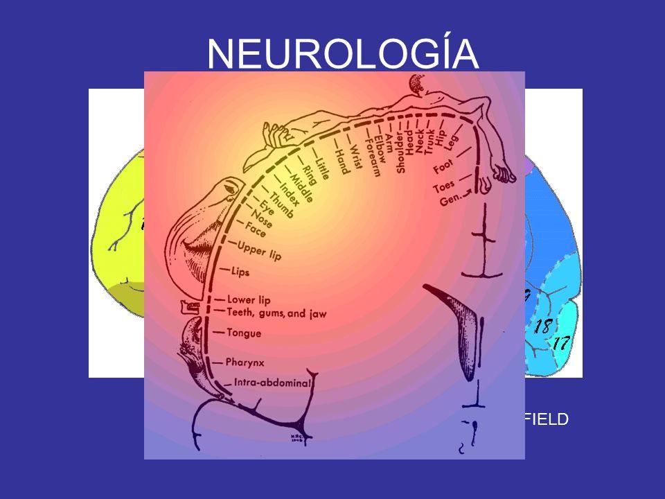 NEUROLOGÍA OÍDO INTERNO ORGANO DE CORTI VIII PAR CORTEZA AUDITIVA (41 TEMPORAL BILATERAL)