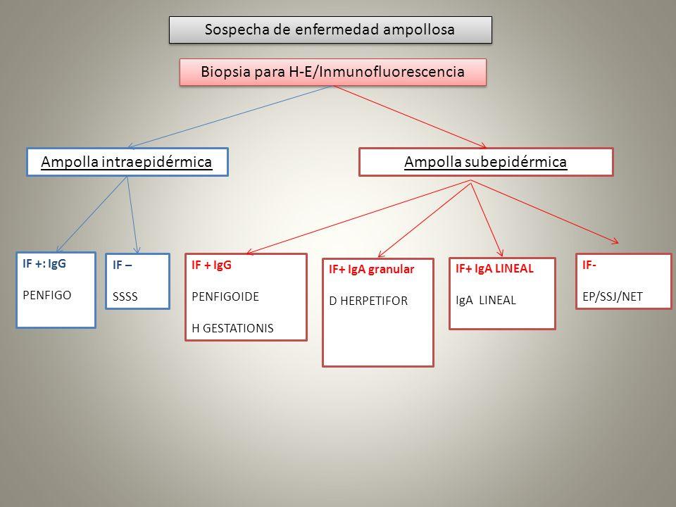 Sospecha de enfermedad ampollosa Biopsia para H-E/Inmunofluorescencia Ampolla intraepidérmicaAmpolla subepidérmica IF +: IgG PENFIGO IF – SSSS IF + Ig