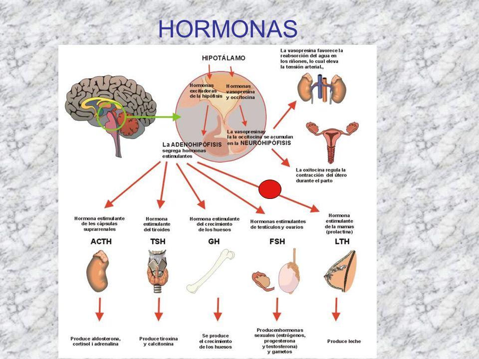 SEXO FENOTÍPICO PSEUDOHERMAFRODITISMO FEMENINO Hiperplasia suprarrenal congénita Déficit de 21-hidroxilasa.