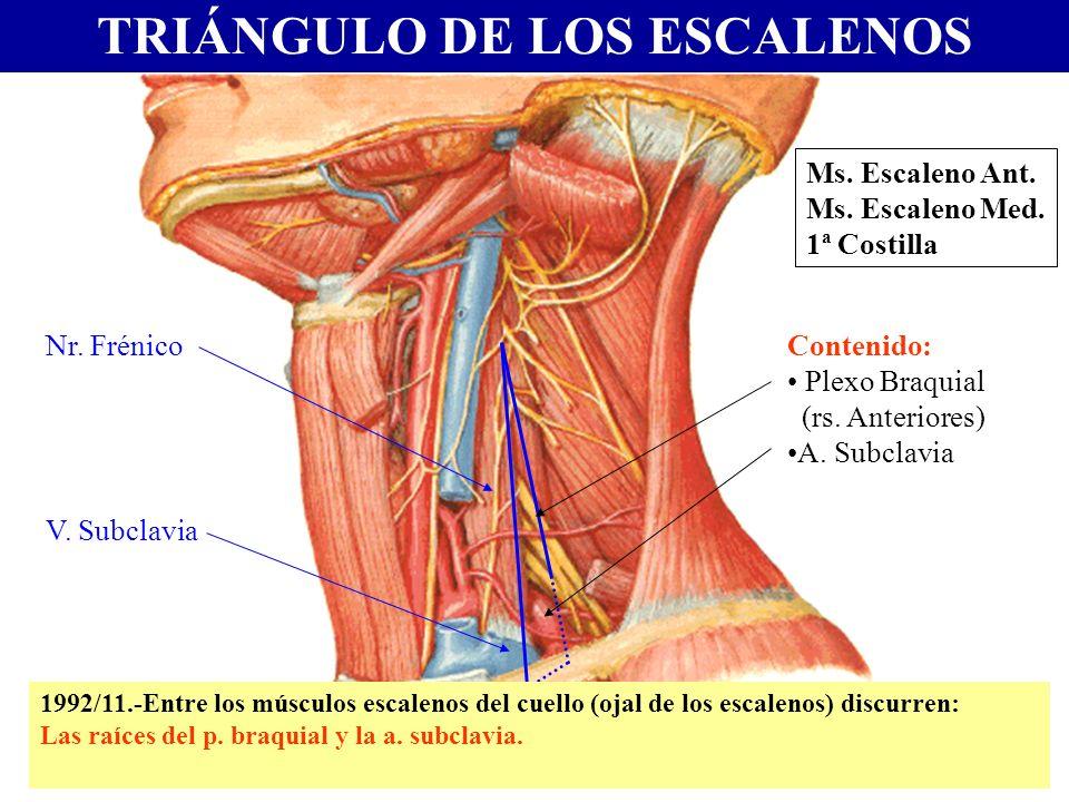 TRIÁNGULO DE LOS ESCALENOS Ms. Escaleno Ant. Ms. Escaleno Med. 1ª Costilla Contenido: Plexo Braquial (rs. Anteriores) A. Subclavia V. Subclavia Nr. Fr