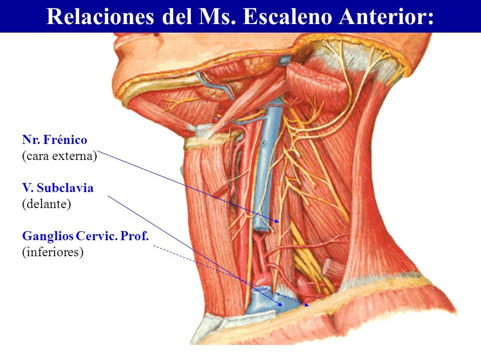 Relaciones del Ms. Escaleno Anterior: Nr. Frénico (cara externa) V. Subclavia (delante) Ganglios Cervic. Prof. (inferiores)