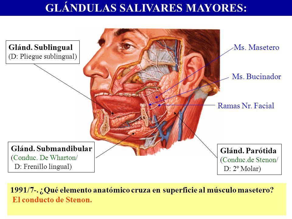 GLÁNDULAS SALIVARES MAYORES: Glánd. Sublingual (D: Pliegue sublingual) Glánd. Submandibular (Conduc. De Wharton/ D: Frenillo lingual) Glánd. Parótida