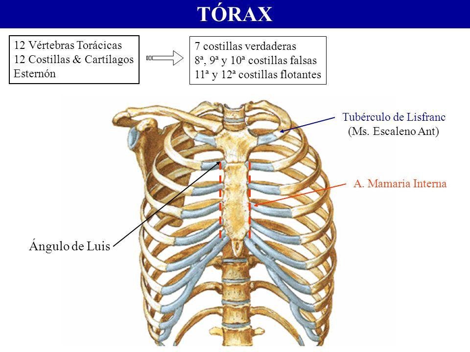 TÓRAX 12 Vértebras Torácicas 12 Costillas & Cartílagos Esternón Tubérculo de Lisfranc (Ms. Escaleno Ant) A. Mamaria Interna Ángulo de Luis 7 costillas