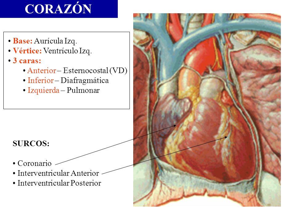 Base: Aurícula Izq. Vértice: Ventrículo Izq. 3 caras: Anterior – Esternocostal (VD) Inferior – Diafragmática Izquierda – Pulmonar SURCOS: Coronario In