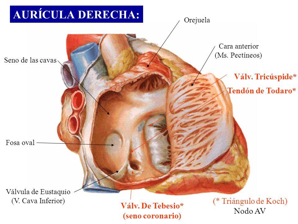 AURÍCULA DERECHA: Seno de las cavas Fosa oval Válvula de Eustaquio (V. Cava Inferior) Orejuela Cara anterior (Ms. Pectíneos) Válv. Tricúspide* Tendón