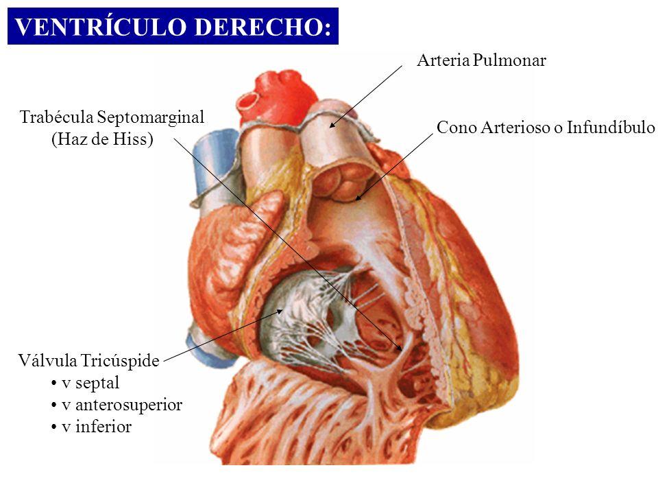 VENTRÍCULO DERECHO: Arteria Pulmonar Cono Arterioso o Infundíbulo Válvula Tricúspide v septal v anterosuperior v inferior Trabécula Septomarginal (Haz