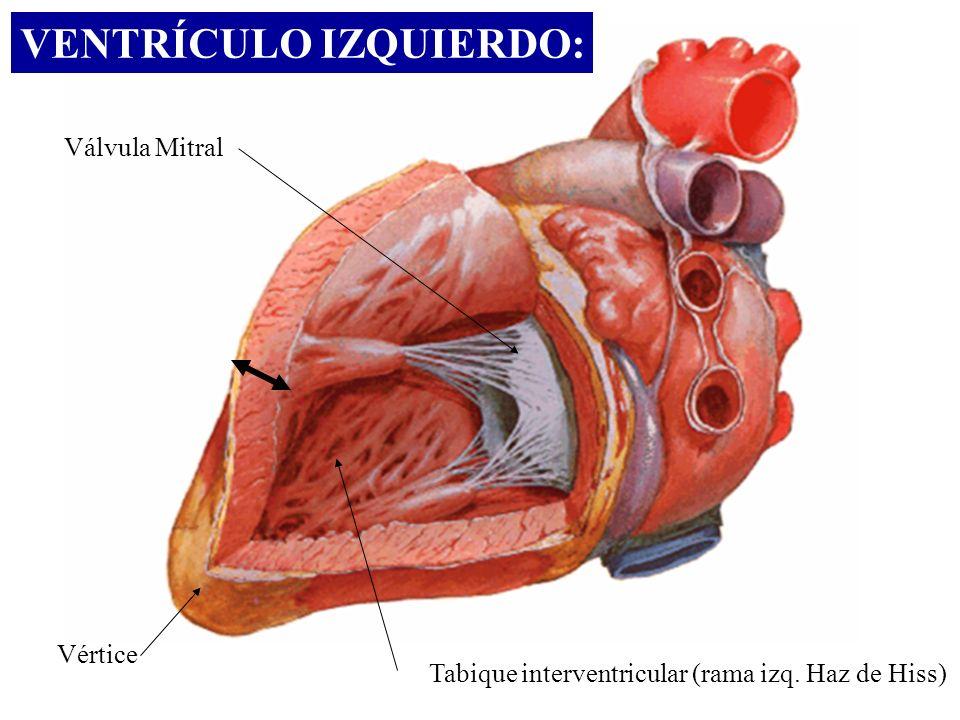 VENTRÍCULO IZQUIERDO: Vértice Válvula Mitral Tabique interventricular (rama izq. Haz de Hiss)