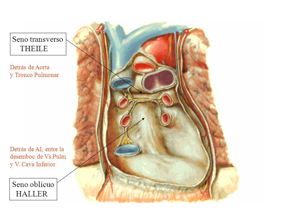 Seno transverso THEILE Seno oblícuo HALLER Detrás de Aorta y Tronco Pulmonar Detrás de AI, entre la desemboc de Vs.Pulm y V. Cava Inferior
