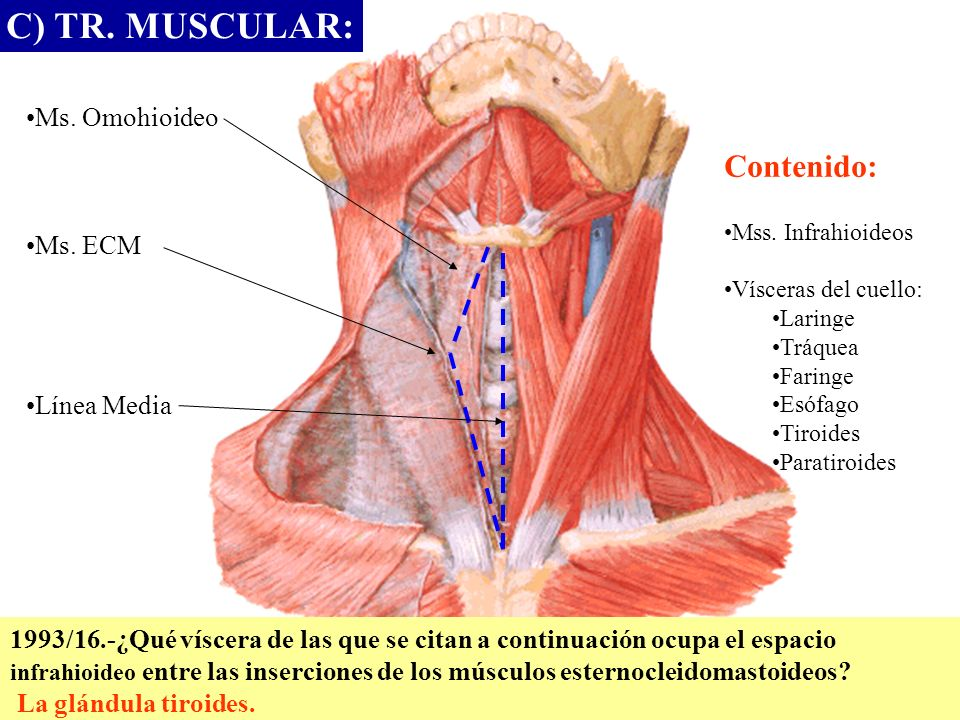C) TR. MUSCULAR: Ms. Omohioideo Ms. ECM Línea Media Contenido: Mss. Infrahioideos Vísceras del cuello: Laringe Tráquea Faringe Esófago Tiroides Parati